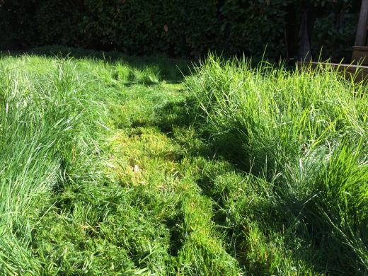 overgrown lawn with a cut swath down the middle
