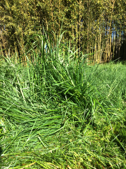 The backyard pseudo-meadow: this is how tall the grass was.
