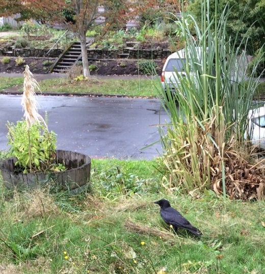 a crow in the front yard