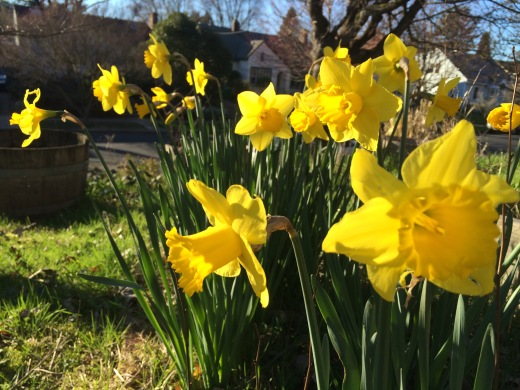 Yellow daffodils growing in the lawn