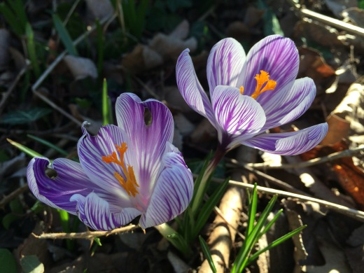 Two crocuses in shady grass