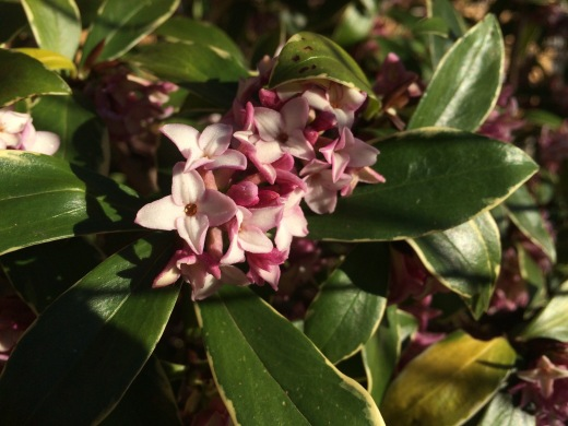 Daphne flowers